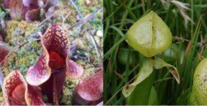 Sarracenia purpurea & Darlingtonia californica