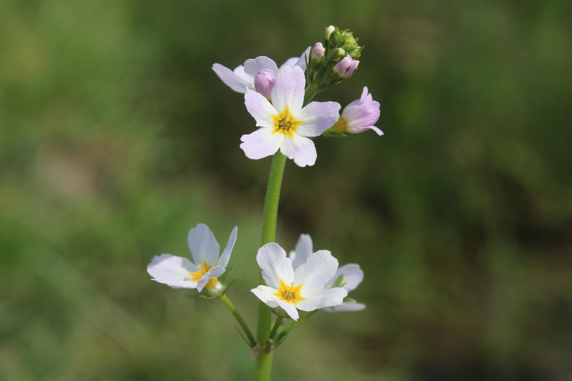 Water Violet, Hottonia palustris
